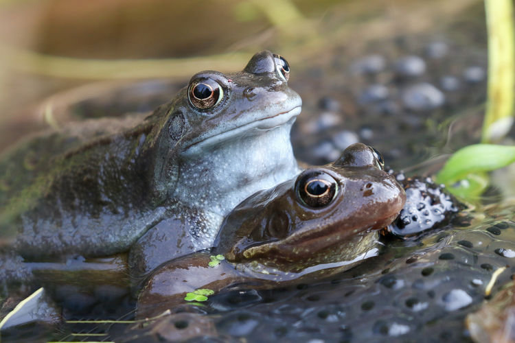 Pair of mating frogs Animal Themes Animal Animal Wildlife Vertebrate One Animal Animals In The Wild Amphibian Close-up Frog Water No People Reptile Day Pond Nature Selective Focus Animal Body Part Animal Head  Animal Eye