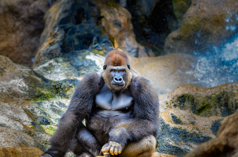 Portrait Of Gorilla Sitting On Rock