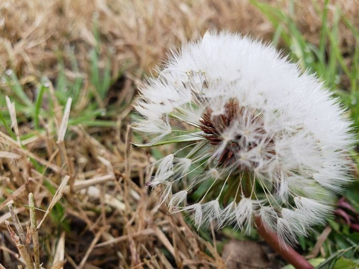 Dandelion seed in reemerging grass Flower Head Flower Uncultivated Wildflower Close-up Plant Dandelion Seed Dandelion Single Flower Fragility Stem Softness Botany Plant Life Stalk Blossom Seed In Bloom Young Plant Stamen