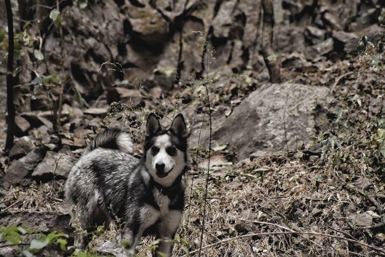 Gala 2. EyeEm Best Shots EyeEm Selects Beauty In Nature Husky Tree Branch Freshness Field Siberian Husky Giant Panda Sled Dog Canine Wolf Raccoon