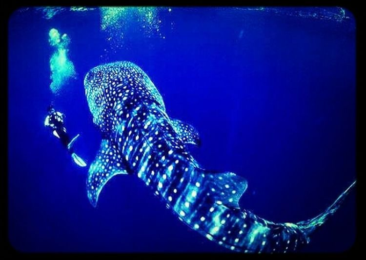 the whale shark. world's largest fish. despite being so big they are quite harmless feeding mostly on plankton. Amazing Photos Nature Harmless Animals Sea