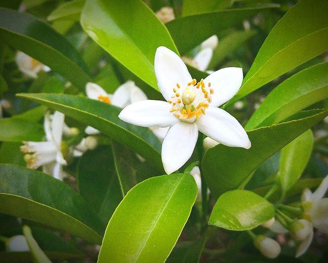 外で洗濯物を干していると、どこからともなく、あまーい香りがしてきました。辺りを見渡すと、みかんの白い花が一斉に咲き始めました。また過ごしやすい陽気のこの季節がきました。みかんの花 良い香りがします Nature Flower Leaf Hello World 大好き