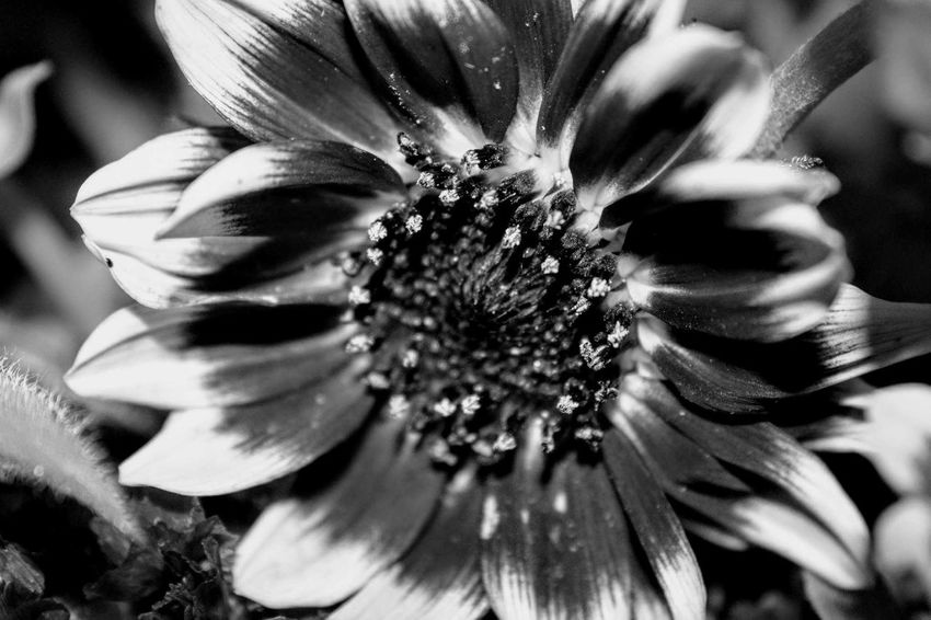 House plant close up in black & white Flower Petal Nature Flower Head Close-up Freshness Beauty In Nature Growth Selective Focus Plant Passion Flower Black&white Photography Black&white♥ Macro Beauty Macro Photography Blossom Shadows & Lights