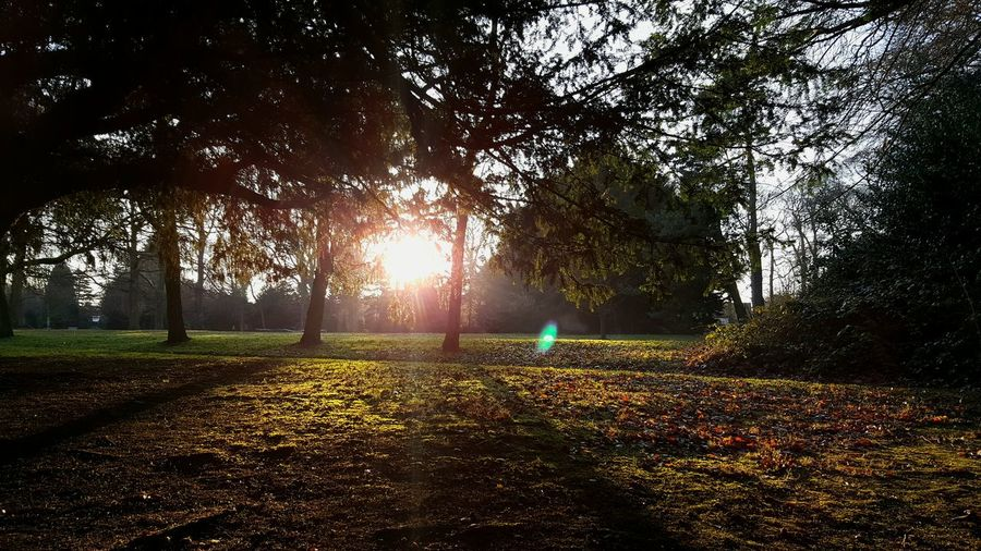 Tree Nature Beauty In Nature Outdoors Growth Tranquility Scenics No People Day Sunlight Sun Flare Light Flares Shadow Shadows & Lights Beams Of Light Park Liverpool Reynolds Park Woolton Village Trees And Sky Tree