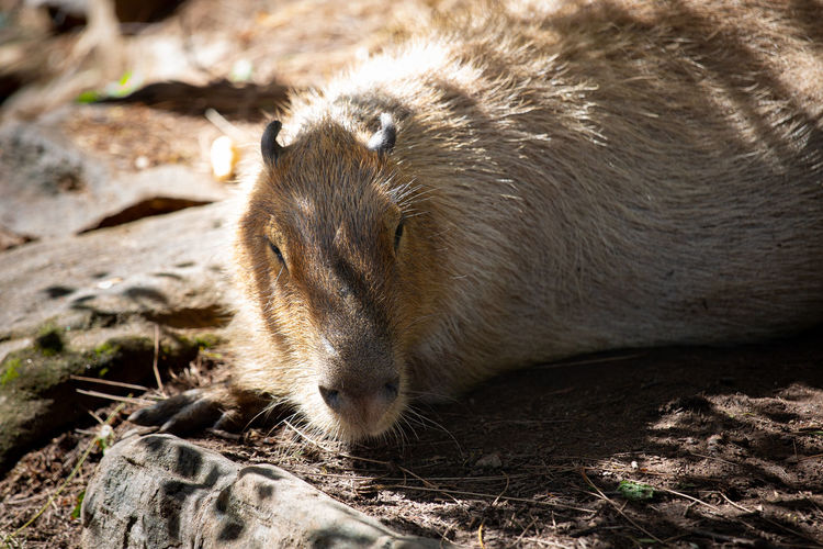 Animal Themes Animal One Animal Mammal Animal Wildlife Animals In The Wild Vertebrate No People Nature Land Close-up Field Sunlight Relaxation Day Focus On Foreground Outdoors Animal Body Part Resting Solid Animal Head  Capybara