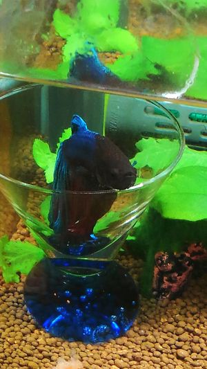 my lovely bettafish Betta Splendens Betta Fish Bettafishcommunity Water Animal Themes One Animal Animals In Captivity Underwater Animal Wildlife No People Aquarium Pets Mammal Nature