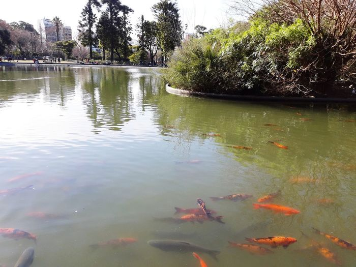 Fish Colors Orange Green Garden Lago Loves Animals Botanical Garden Paisaje Tree Water Swimming Floating On Water Underwater Alligator Reflection Reptile Sky Fish Tank Carp Koi Carp