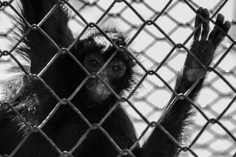 Animal Themes Animals In Captivity Backgrounds Behind Cage Chainlink Fence Close-up Curiosity Day Dog Domestic Animals Fence Focus On Foreground Full Frame Mammal Monkey One Animal Outdoors Pets Protection Safety Security Trapped Watching Zoology