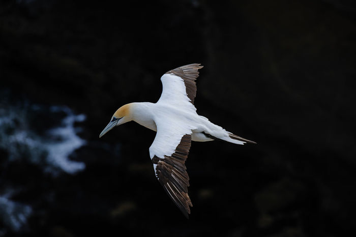 Gannet at Muriwai Beach Muriwai Beach Animal Animal Themes Animal Wildlife Animal Wing Animals In The Wild Beauty In Nature Bird Day Flying Focus On Foreground Gannet Mid-air Motion Nature No People One Animal Outdoors Spread Wings Water First Eyeem Photo