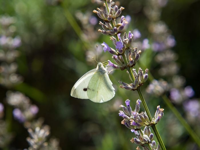 A Cabbage White