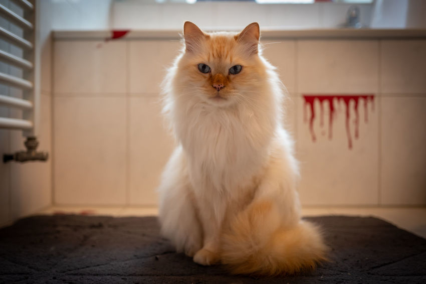 Indoor photo of Sacred Birman cat Domestic Pets Domestic Animals Mammal One Animal Domestic Cat Cat Looking At Camera Feline Portrait Indoors  White Color Sitting No People Vertebrate Focus On Foreground Flooring Whisker Persian Cat  Tiled Floor Animal Eye Sacred Birman Cat