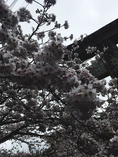 さくら さくら やよいの空は 見わたす限り かすみか雲か 匂いぞ出ずる さくら さくら花ざかり