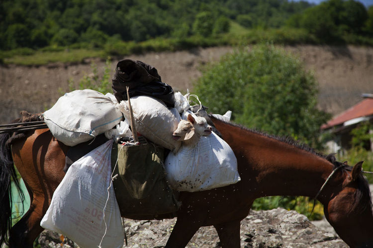 Horse Carrying Goats In Sack
