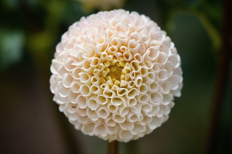 Close-up of white dahlia