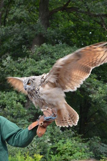 Cropped image of falconry holding eurasian eagle owl
