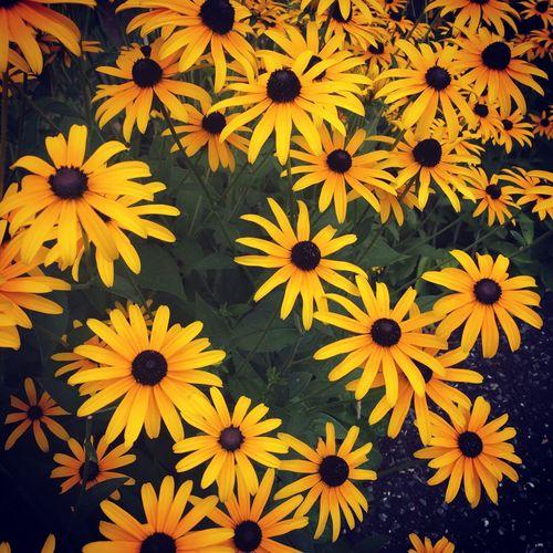 Flower Flowering Plant Yellow Fragility Vulnerability  Beauty In Nature Freshness Full Frame Coneflower Black-eyed Susan Growth