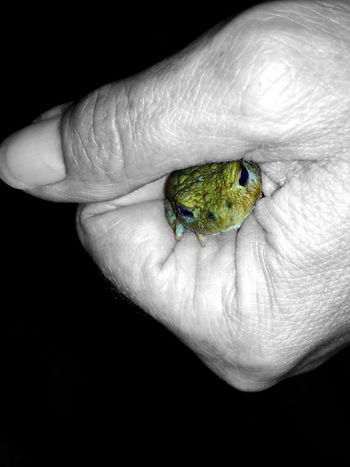 Young toad in the hand Amphibian Animals In The Wild Black Background Bufo Bufo Bufonidae Close-up Focus On Foreground Frog Green Color Hand Holding Human Finger Nice One Animal Person Small Studio Shot Tetrapoda Toad Toads And Frogs Wildlife Wildlife & Nature Young Animal