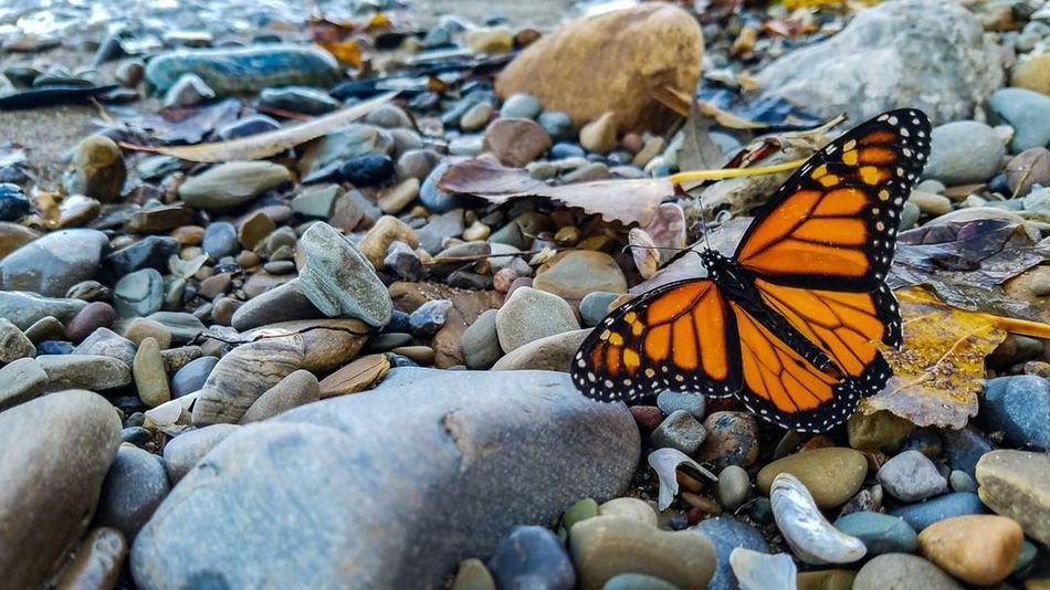Monarch butterfly at the beach Insect Animal Themes Animals In The Wild Nature No People Animal Wildlife Outdoors Pebble Beauty In Nature Butterfly - Insect Close-up Beach Sand Nature Tranquility Nature Photography Lake Erie Beauty In Nature Tranquil Scene Butterfly Monarch Butterfly Breathing Space Fragility One Animal Animals In The Wild