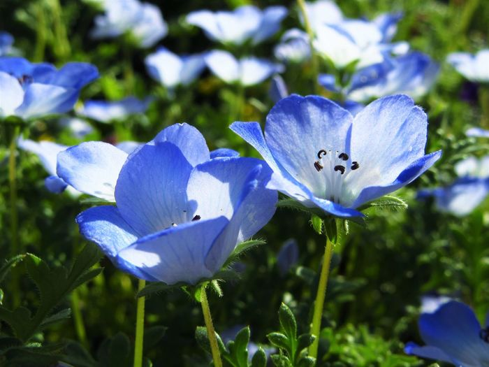 Nature Nemophila Blue Close-up Flower Flower Head Flowering Plant Nature No People Outdoors Plant