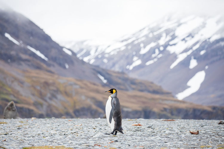 Penguin perching against snowcapped mountain