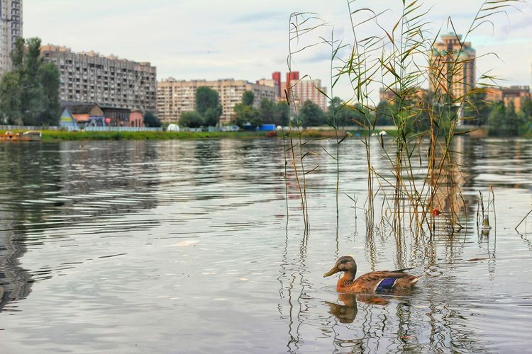 Duck Nature Outdoors Water Saint-Petersburg Canon EOS 600D 50mm F1.8 Lake Nature Bird Animal Themes Swimming Sky