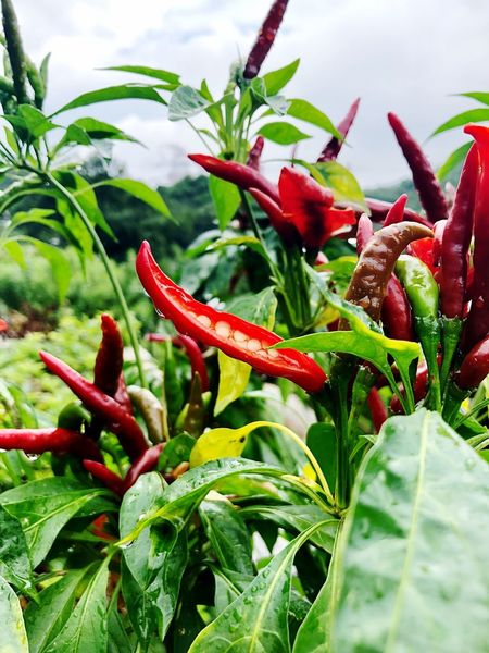 Chilli hot! Fruit Peppers Chilli Travel Destinations Botanical Garden HongKong Growth Plant Green Color Plant Part Red Freshness Beauty In Nature Leaf Close-up Nature No People Day Flowering Plant Focus On Foreground Outdoors Flower Plant Stem Botany Wet