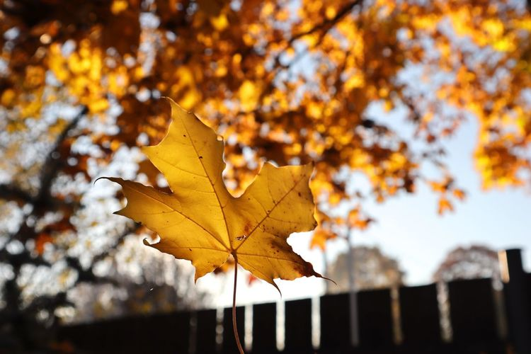 Autumn Change Leaf Plant Part Tree Plant Nature Maple Leaf Maple Tree Focus On Foreground Orange Color No People Beauty In Nature Close-up Day Outdoors Yellow Dry Leaves Leaf Vein Autumn Collection Natural Condition Fall