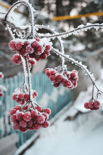 Close-up of frozen berries on tree