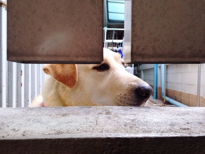 My name is Pupae! Labrador Dog Next Door Visiting Giving Me Food Happy Dog Barking Get Me Out Of Here Silly Dog I Want Chicken Hello Human Bangkok