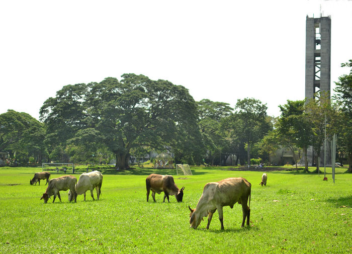 Cows! Fertility Tree, Freedom Park, UP Los Baños Campus Los Baños, Laguna, Philippines. Tree Animal Cattle Livestock Domestic Animals Herd Animal Themes Large Group Of Animals Agriculture Grass Outdoors Nature Eyeem Philippines Nikon Nikon D3100