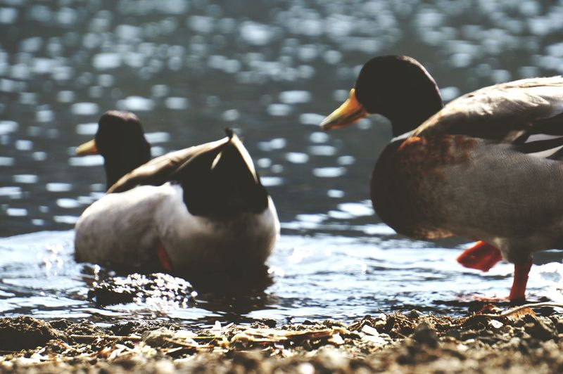 Close-up of ducks swimming in lake