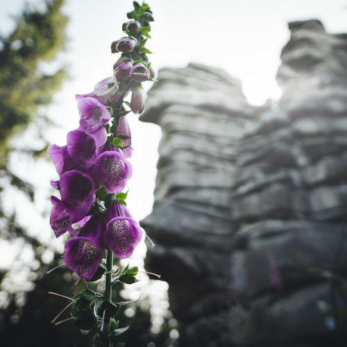 Beauty In Nature Blooming Botanical Fichtelgebirge Fingerhut Flower Flower Head Flowers Foxglove Foxgloves Garden Mountain Nature Outdoors Pink Plant Purple Roaming Rudolfstein Sunrays Trumpet