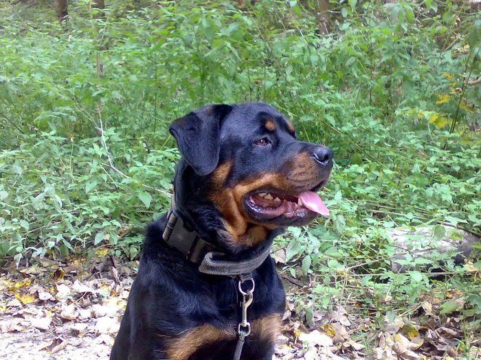 Busty Dogs Animals Rottweiler Hunde