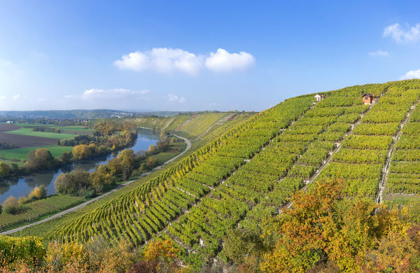 Vineyards in autumn at the river Neckar, in the background the village Besigheim, Germany Autumn Baden-Württemberg  Besigheim From Above  Nature October Cultivated Europe Fall Germany Hill Hillside Landscape Loop Mountain Neckar River Scenery Slope Steep Valley Vineyard Viticulture Wine Winegrowing