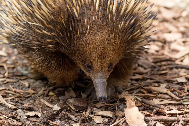 Close-up of echidna on field