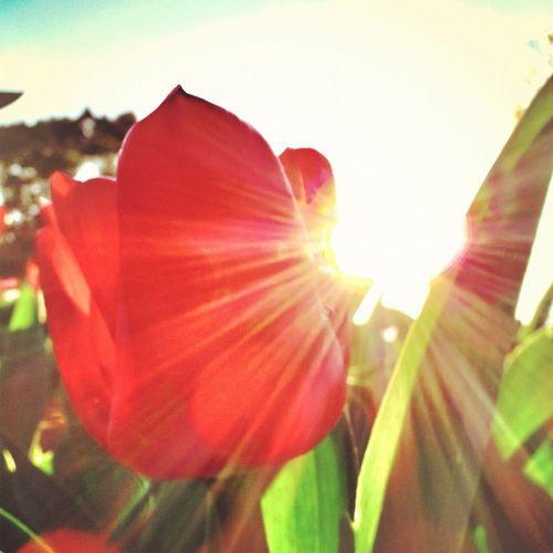 Tulip 虫メセン