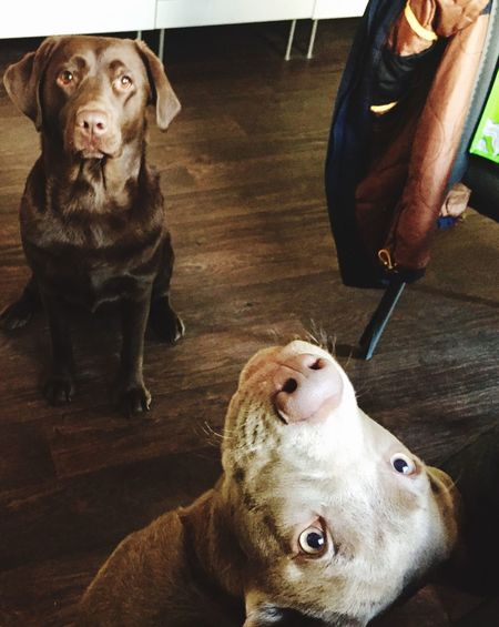 Labrador Retriever Silverlabrador Crazydog Labrador Dog Indoors  No People Domestic Animals LabradorLove Friendship