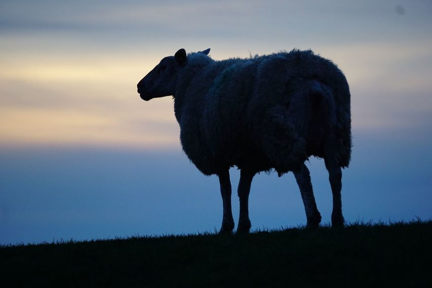 Animal Themes Sky One Animal Nature Field Grass Sunset No People Livestock Mammal Beauty In Nature Outdoors Domestic Animals Full Length Landscape Animals In The Wild Day Sheep