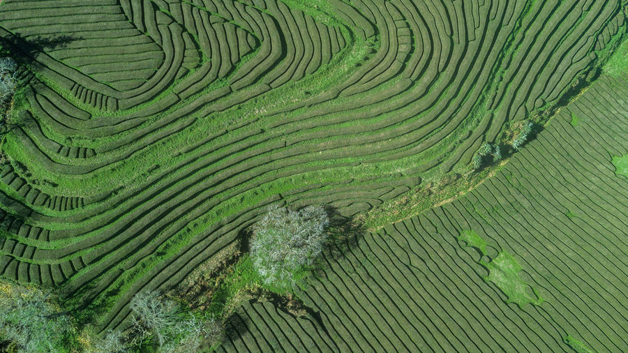 Drone aerial view of the gorreana oldest tea plantation in sao miguel sland, azores, portugal