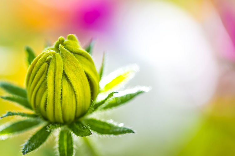 Close-Up Of Bud Against Blurred Background