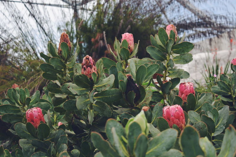 Close-Up Of Cactus Plants