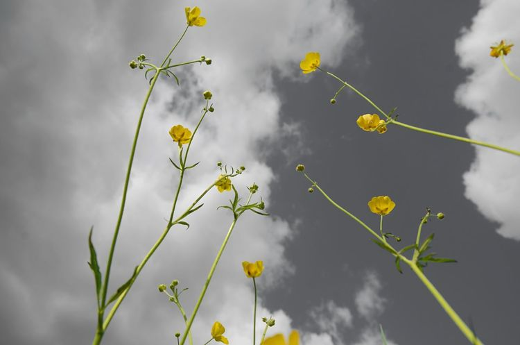 Beauty In Nature Cloud - Sky Day Flower Flowering Plant Focus On Foreground Fragility Green Color Low Angle View Nature No People Plant Sky Tranquility Yellow