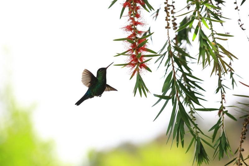 Central America Colibri De Costa Rica Costa Rica Green Violetear Hummingbird Series Animal Wildlife Bird Bird In Flight Bird In Motion Bird Watching Colibri In Flight Colibrí Flying Hummingbird Mid-air Motion Pollination Pollination In Action Spread Wings