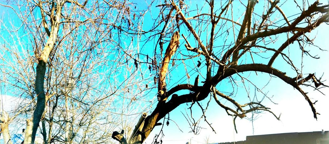 Tree Low Angle View Sky Blue Branch Bare Tree Clear Sky Nature Day Outdoors Beauty In Nature Close-up Panoramic Panoramic Photography Huaweiphotography Showcase: January Showcase: 2017 Edited By @wolfzuachis Wolfzuachiv @WOLFZUACHiV Eyeem Market Veronicaionita On Market Ionita EyeEmNewHere