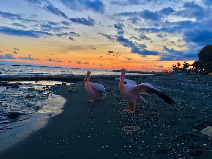 Swans at beach against sky during sunset