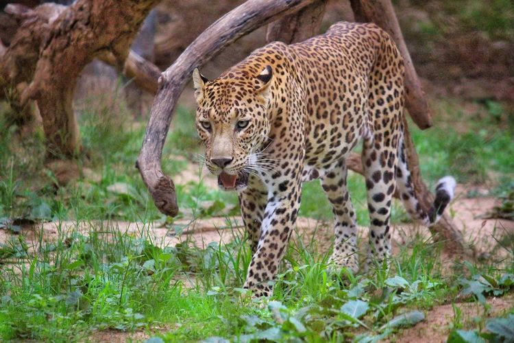 leopard on filed Photography Wildlife Wildlife Photography Wildlife & Nature Wild Leopard Cheetah Feline Spotted Safari Animals Cat Family Undomesticated Cat
