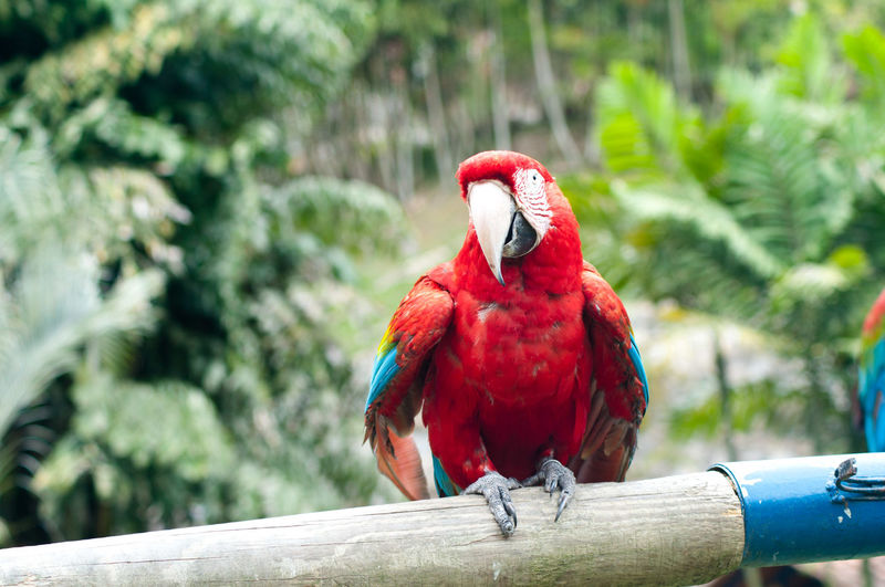 Scarlet Macaw Perching On Wood