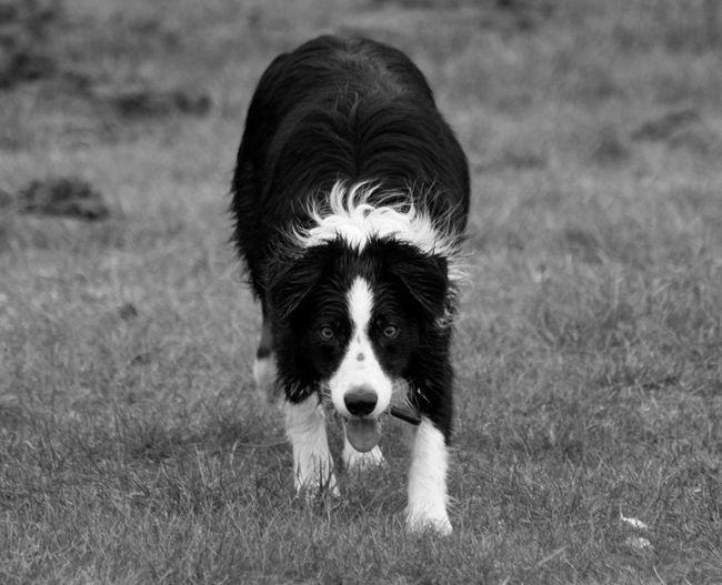 Portrait of border collie on grassy field