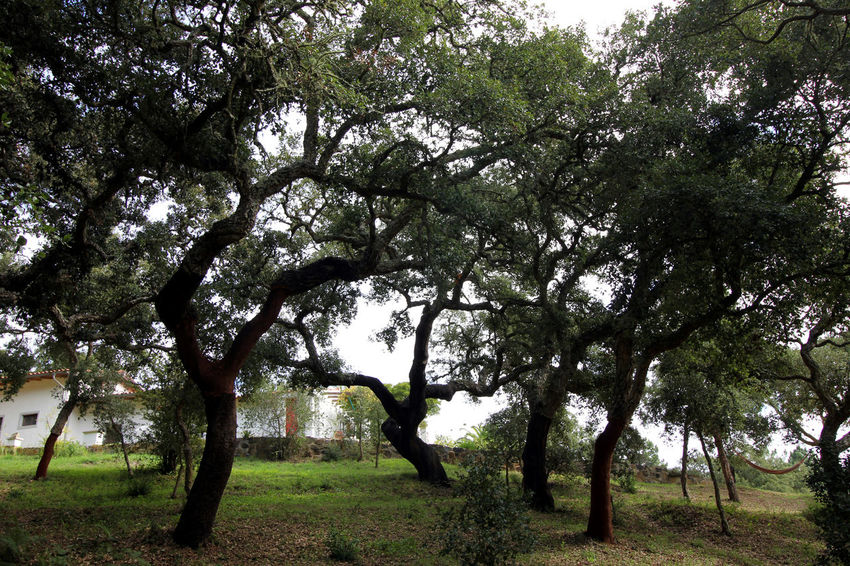 Cork Tree Forest, Western Algarve Algarve Beauty In Nature Branch Cork Tree Cork Trees Day Forest Growth Nature No People Outdoors Scenics Tranquility Tree Western Algarve
