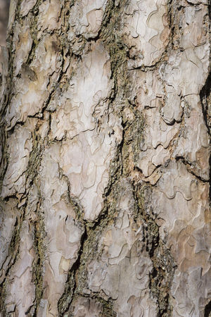 Close-up of the Bark of an old Black Pine Tree Lumber Timber Wood Design Bark Black Pine Tree Cracks Growth Natural Nature Pine Textured  Textures Tree Bark Trees Abstract Background Black Pine Close-up Closeup Cracked Natural Pattern Pattern Pine Tree Structure Structures Surface Textured